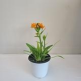 베들레햄/공기정화식물/온누리 꽃농원|