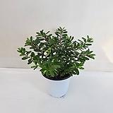헤베/공기정화식물/온누리 꽃농원|
