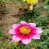 다알리아 분홍-1뿌리(중소형)|