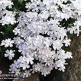 꽃잔디 하얀색(백설,모종)3치포트[더케이야생화]|sedum spathulifolium