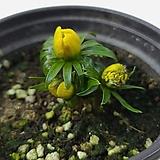 노랑바람꽃|