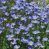 페르시아-블루데이지 모종(4개) 10cm화분 강한내한성식물 [케이야생화]
