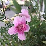 핑크 능소화|