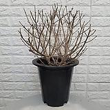 라일락45 - 미스김 라일락 / 노지월동|Echeveria cv Peale von Nurnberg