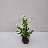 긴기아난 흰색/공기정화식물/온누리 꽃농원|
