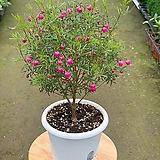 (싹쓰리식물원) 외목대 보로니아(중품)-묘목 