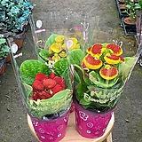 (싹쓰리식물원) 복주머니 꽃-3개묶음 