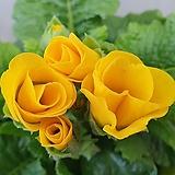 장미앵초 (노랑색 겹꽃) - 개화주, 튼실한 포기|