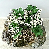 짜보돌단풍 - 제주화산석 완성품, 한몸 큰덩어리|