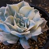 릴리시나금0217-2221|Echeveria lilacina