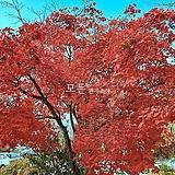 사계홍단풍나무 (블러드굿) 접목1년생 사계절 단풍묘목 [모든원예조경]|