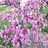 자엽 박태기 나무 H120cm 묘목 