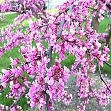 자엽 박태기나무 h120cm 