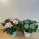 수국 중 블루/핑크 