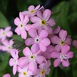 물망초 [핑크 ]|