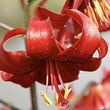 백합구근 (레드벨벳) 1Set 3구|Echeveria Red Velvet