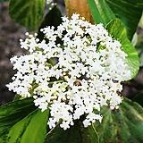 무늬 백산목 - 개화주, 꽃눈 6개|