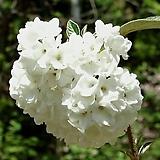 에스키모 (은분나무, 분꽃나무) - 노지월동 가능|