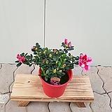 철쭉 핑크프라이드(중품)|
