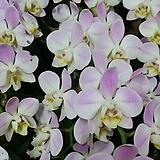 호접란.예쁜핑크색.고급종.꽃이 귀엽고 여성스러운꽃.상태굿.키우기 아주좋음.귀한품종.인기상품.꽃피었던상품.
