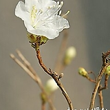 개화중인 흰진달래 (높이 75cm) 사진촬영 2021년 2월 22일 