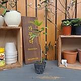 황칠나무 외목수형 비닐포트|