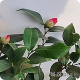 겹동백나무,동백나무(1미터전후 개화주화분묘) ,목하원예조경 