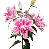 향기좋은 겹꽃 장미백합 이자벨라 특구근2개|