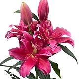 향기좋은 겹꽃 장미백합 다린다 특구근2개|