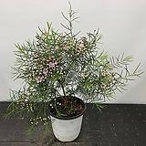 왁스플라워 외목대수형|Echeveria agavoides Wax