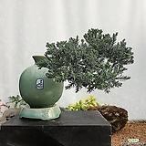 눈향 주입청자항아리(소) 향나무 미니소나무 미니분재ST-105|