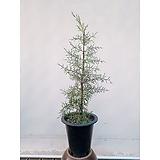 블루아이스(엘사트리) 편백나무 (포트) 초보자식물|Echeveria blue ice