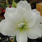 큰꽃아마릴리스-스위트향기엔젤|