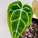 크리스탈리넘 / 동일품배송/ 높이 32 너비 23|Echeveria elegans potosina Crystal