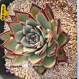 원종마리아(연꽃 마리아)|Echeveria agavoides Maria