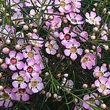 왁스풀라워[핑크]|Echeveria agavoides Wax