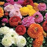 라넌큘러스(혼합) 꽃 모종 10cm화분묘 꽃말 꽃집 반려식물