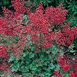 붉은꽃 단풍취 (휴케라 루비벨) 1set 4포트|