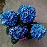 우아한꽃수국-블루볼|