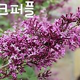 다크퍼플라일락|Echeveria cv Peale von Nurnberg