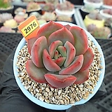 글램핑크2-2976 Echeveria Glam Pink