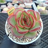 (New item)세이렌2-3089 Echeveria Siren