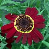 큰꽃 목마가렛|Echeveria halbingeri