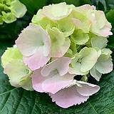 수국 꽃대15(단품)|