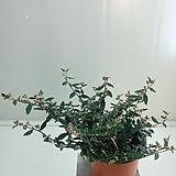 천황매 꽃몽우리가득|Echeveria Riga