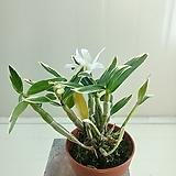 은설 꽃몽우리|Sedum spathulifolium
