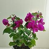 부겐베리아 꽃대가득|