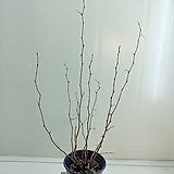 실생 소사나무 모아심기|