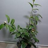 초황동백8-2번-연황색꽃-동일품배송|