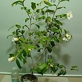 제비꼬치흰동백1번-매우귀한흰색제비꼬리-동일품배송|